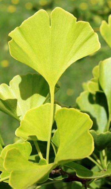 Propriétés Ginkgo Biloba - Mieux se concentrer grâce aux huiles essentielles Bio ...