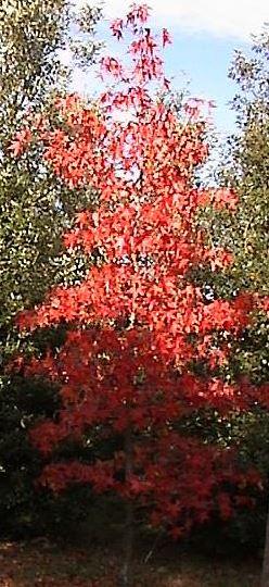 Arbres aux couleurs d'automne rouge orangé - Pépinières de Bazainville