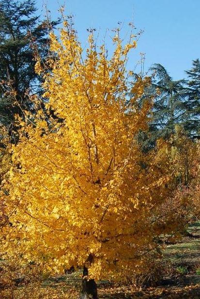 Automne doré avec les arbres de Pépinières de Bazainville