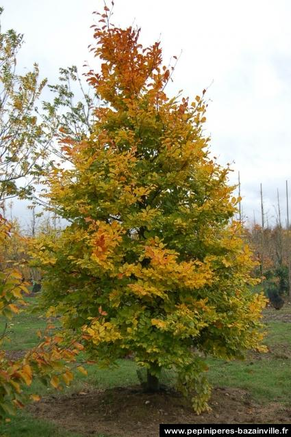 Hêtre vert ou hêtre commun - Fagus sylvatica