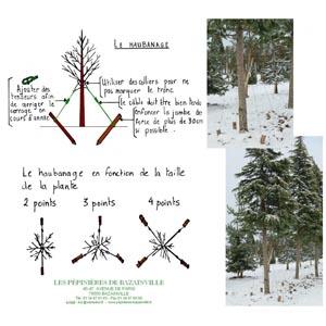 Haubanage d'un arbre, conseils pépinières