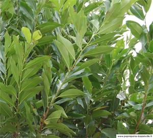 Prunus caroliniana - Laurier de Caroline