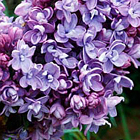 SYRINGA vulgaris 'Katherine Havemeyer' - Pépinières Bazainville