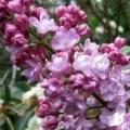 Lilas Belle de Nancy - Syringua vulgaris