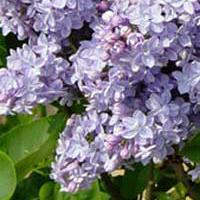 Lila SYRINGA vulgaris Michel Buchner - Pépinières