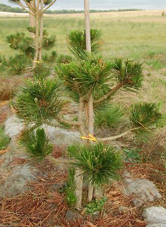 PINUS thunbergii ou pin noir du Japon