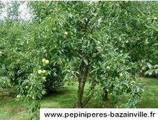 POMMIER Belle Fleur Jaune à fruit - Pépinières