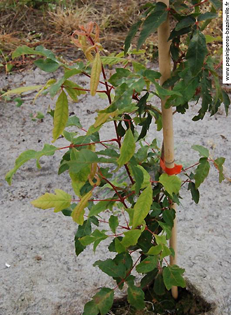 Acer triflorum – Erable à l'écorce rugueuse