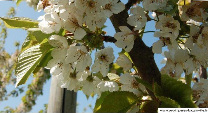 Le cerisier Bigarreau 'Burlat' – Pépinières de Bazainville