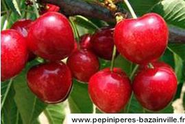 Cerisier Bigarreau Van – Pépinières de Bazainville