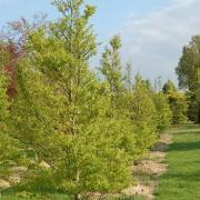 Fagus asplenifolia taillé bonzaï