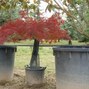 Acer palmatum var dissectum Garnet
