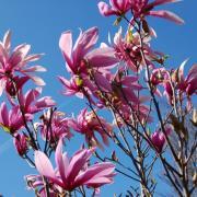 Magnolia - Pépinières de bazainville