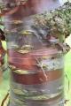 Prunus Serrula - Cerisier du Tibet - Pépinières 78