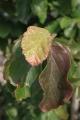 Parrotia persica - Parrotie de Perse - Automne