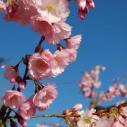 Cerisier à fleurs - Pépinières de bazainville