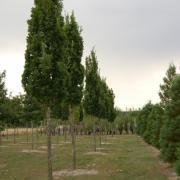 Quercus robur Fastigiata Koster