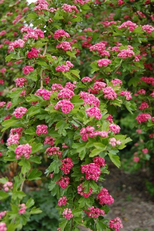 Aubépine Rouge - Floraison Mai