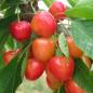Cerisier Bigarreau Coeur de Pigeon
