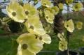 Cornouiller - CORNUS nuttallii 'Eddie's White Wonder'