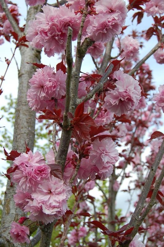 Pépinières Prunus Cerisier d'Ornement
