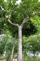 Lilas des Indes Lagerstroemia - Pépinières Bazainville