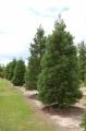 Séquoias giganteum et sempervirens - Vente de conifères