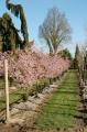 """Cerisier du Japon """"Accolade"""" - Prunus Pépinières"""