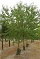 Les arbres fruitiers des pépinières de Bazainville