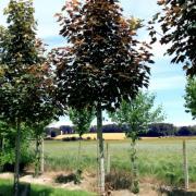 Acer pseudoplatanus Purpurascens