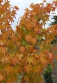 Un arbre dans un petit jardin ? - Pépinières de Bazainville