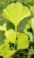 Bienfaits du Ginkgo biloba – Pépinières de Bazainville