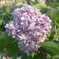 Lilas 'Souvenir de Louis Spaeth' SYRINGA vulgaris