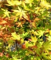 Erable du Japon - ACER Palmatum 'Summer Gold'