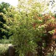 Acer campestre Orientalia Minorient
