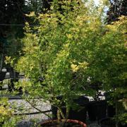 Acer campestre Postelense