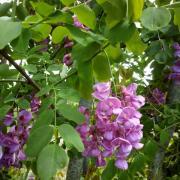 Acacia - Pépinières de bazainville