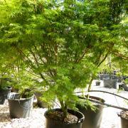 Acer palmatum var dissectum Seiryu