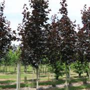 Acer platanoides Schwedleri Nigra