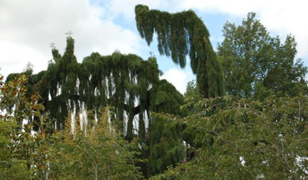 p pini res arbres arbustes conif res grandes tailles. Black Bedroom Furniture Sets. Home Design Ideas