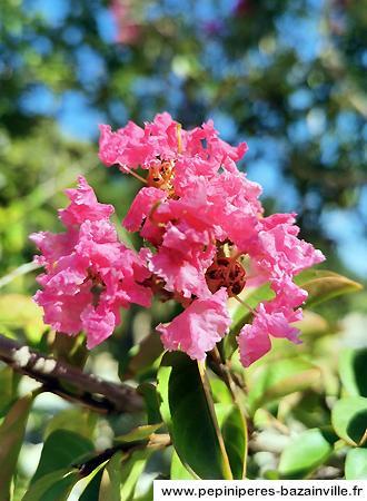 Lagerstroemia floraison été