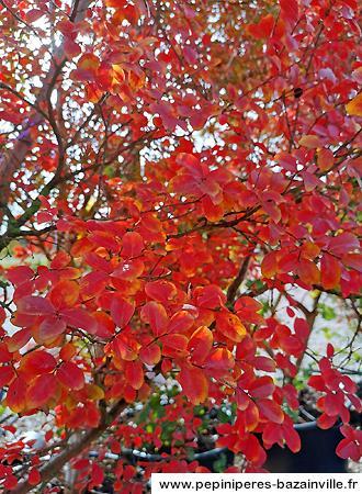 Lagerstroemia feuillage automne