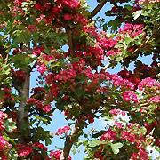 Crataegus oxyacantha 'Paul Scarlet'