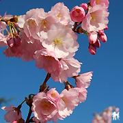 Prunus x accolade