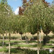 Betula verrucosa Youngii
