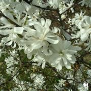 magnolia stallata