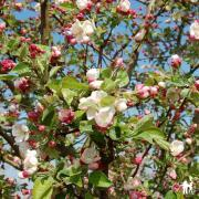 Malus Evereste 'Perpetu'