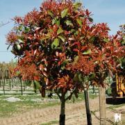Photinia x fraseri 'Red Robin'