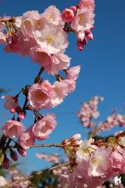 Cerisier japonais - jardin japonisant