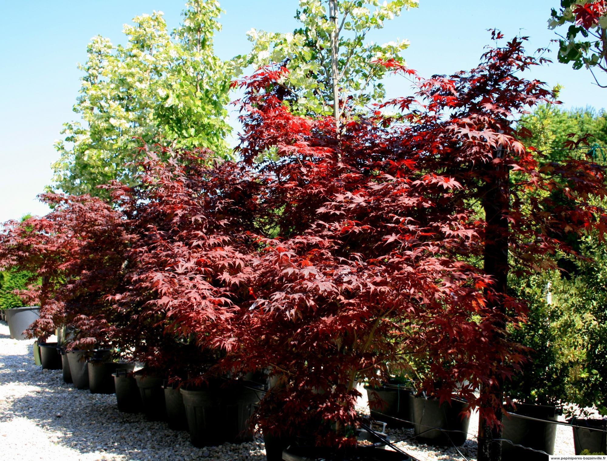 Erable Du Japon Petit erable japonais feuillage aconit rouge carmin à automne